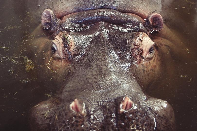 water-animal-hippo-hippopotamus